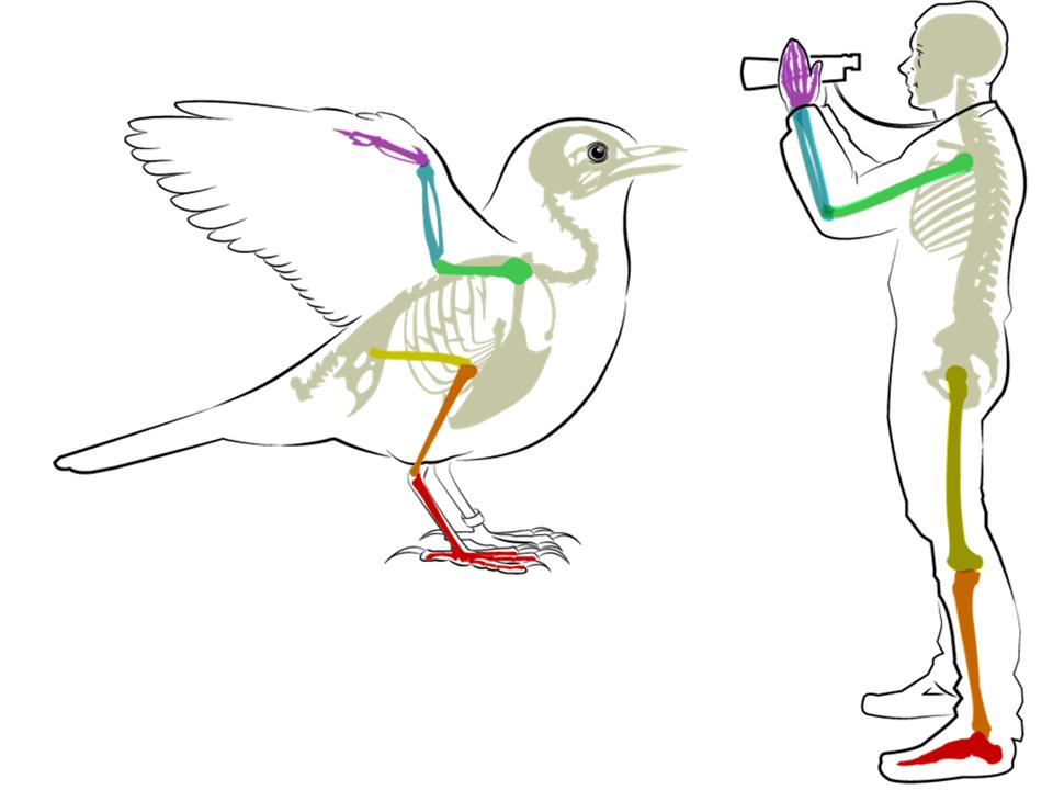 Human and Bird Anatomy