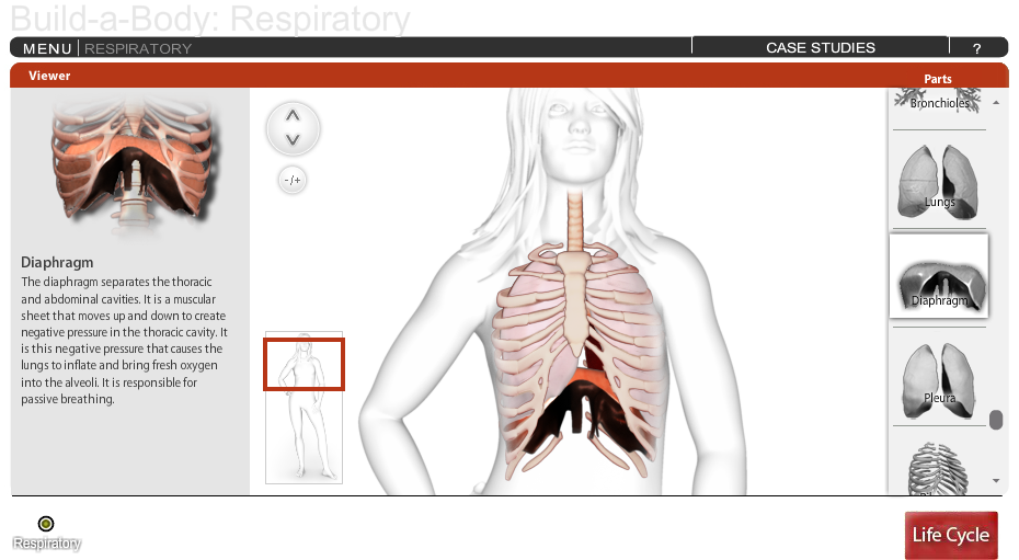 Build-A-Body: Respiratory System